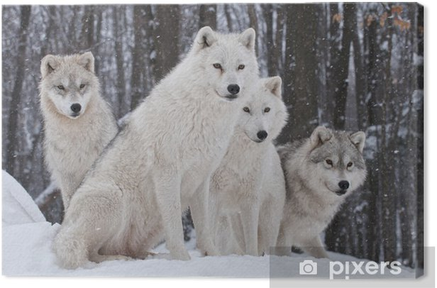 Arctic Wolf Pack Canvas Print - Wolves