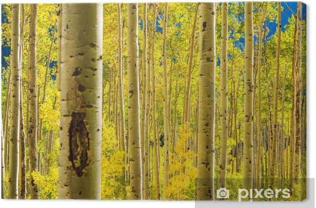 Aspen Trees Forest Canvas Print - Themes