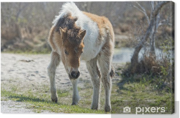 Assateague horse baby young puppy wild pony Canvas Print - Mammals