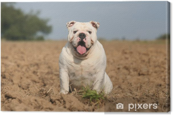 Assis Beau Le Bulldog Anglais Blanc Canvas Print Pixers We Live