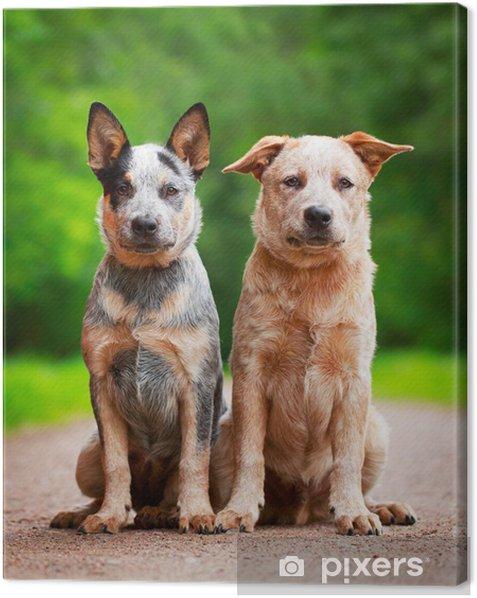 Australian Cattle Dog Canvas Print - Mammals