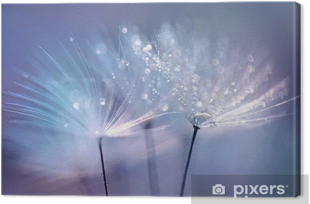 Beautiful dew drops on a dandelion seed macro. Beautiful blue background. Large golden dew drops on a parachute dandelion. Soft dreamy tender artistic image form. Canvas Print - Plants and Flowers