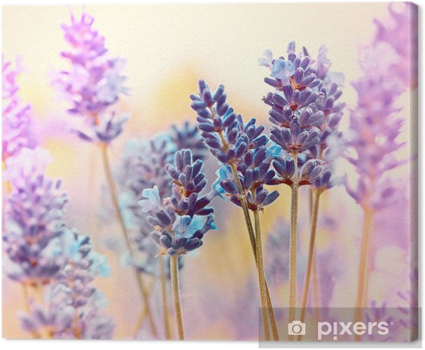 Beautiful lavender Canvas Print - Flowers