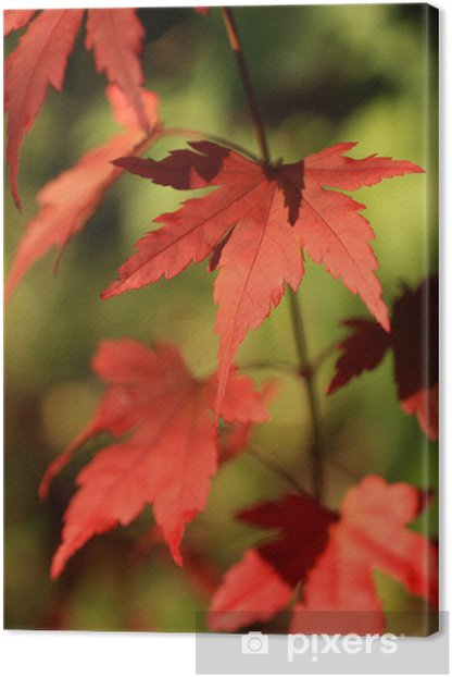 Beautiful Red Japanese Maple Tree Leaves Canvas Print Pixers