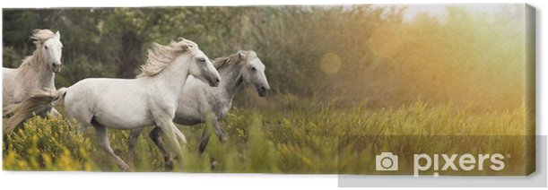 Beautiful white horses running in the field Canvas Print - Animals