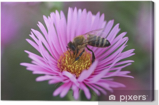 Bee collect pollen from the aster flower Canvas Print - Other Other