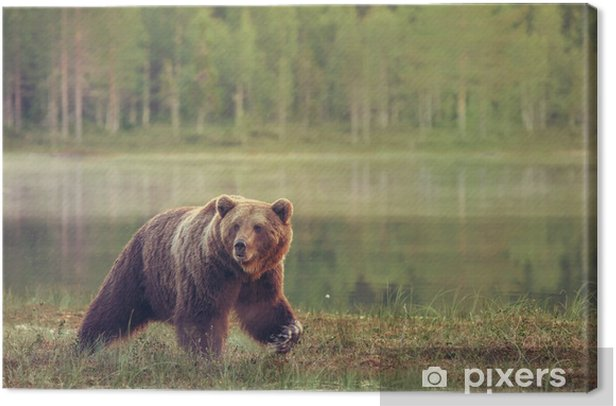 Big male bear walking in the bog at sunset Canvas Print - Themes