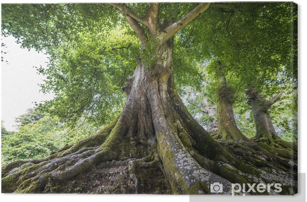big old tree Canvas Print - Destinations