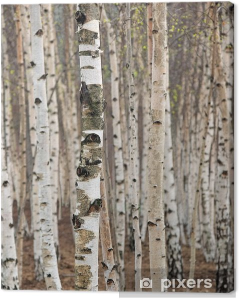 Birch trees in spring Canvas Print - Styles