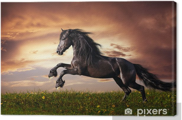 Black Friesian horse gallop Canvas Print -