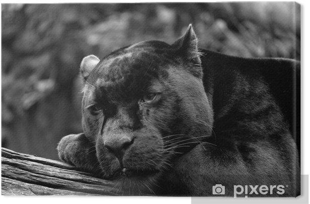 Black Jaguar Canvas Print - PI-31