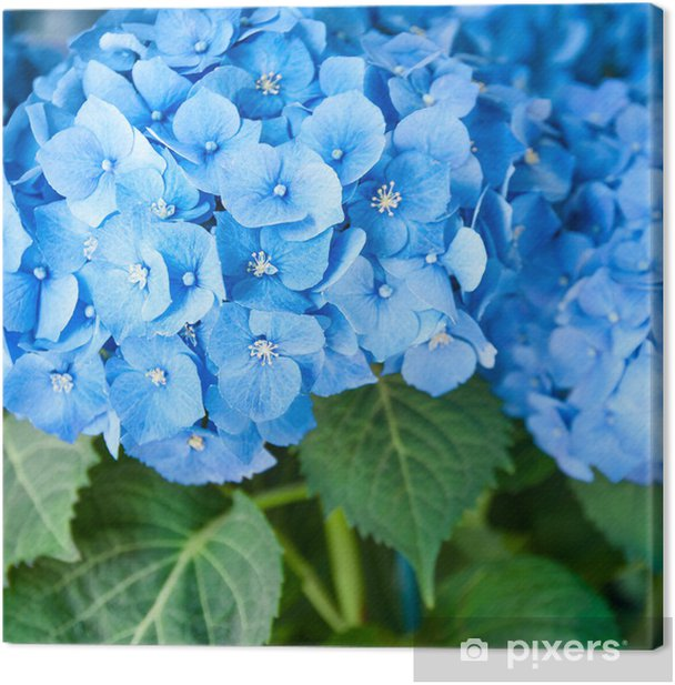 Blaue Hortensie Hydrangea Macrophylla Ballhortensie Canvas Print