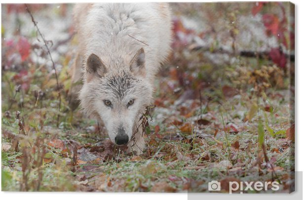 Blonde Wolf (Canis lupus) Stalks Forward Through Grasses Canvas Print - Seasons