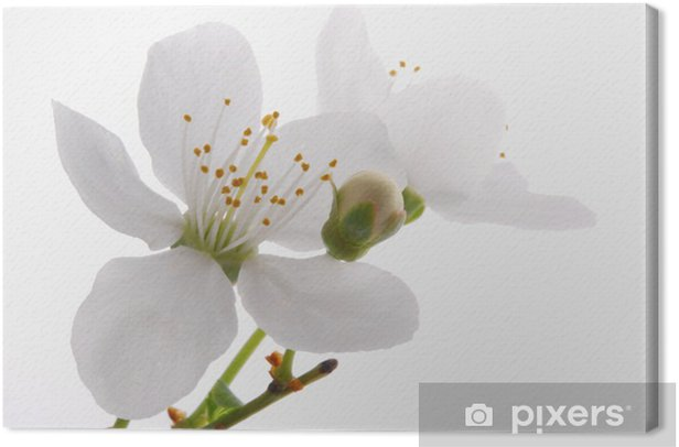 Bloomer_ white apple blossoms Canvas Print - Apple trees
