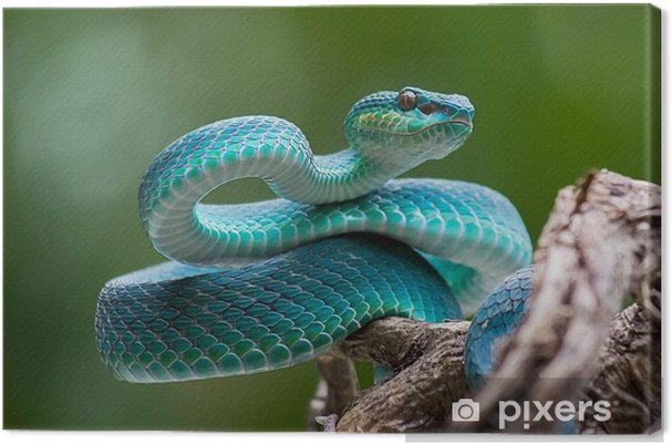 Blue pit viper from indonesia Canvas Print