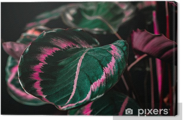botanical calathea plant with green and pink leaves, on black Canvas Print - Plants and Flowers