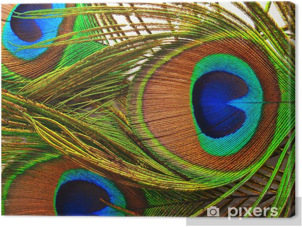 Bright feathers of a peacock close up Canvas Print - Fashion
