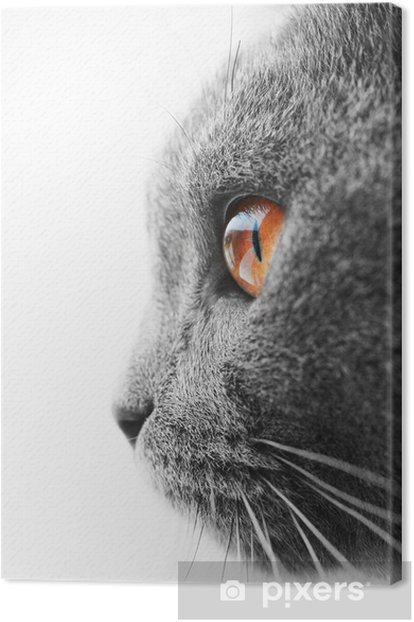 British blue cat detail Canvas Print - Themes