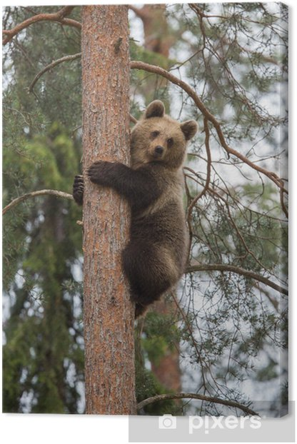 Brown bear climbing tree in Tiaga forest Canvas Print - Themes