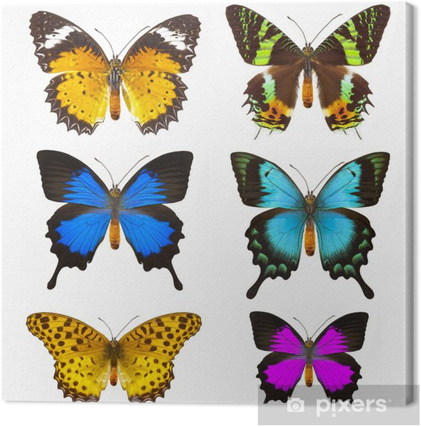 Butterfly Canvas Print - Animals