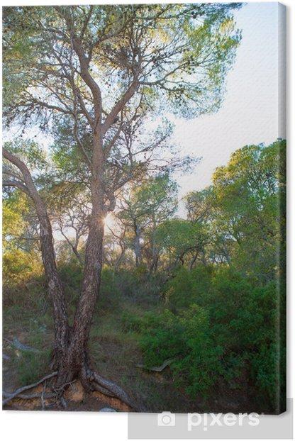 Calderona Sierra pine forest in Serra Naquera of Valencia Canvas Print - Europe