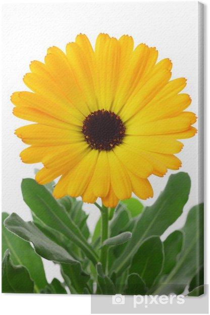 Calendula officinalis Canvas Print - Flowers