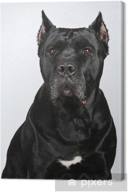 Cane Corso dog portrait Canvas Print - Mammals