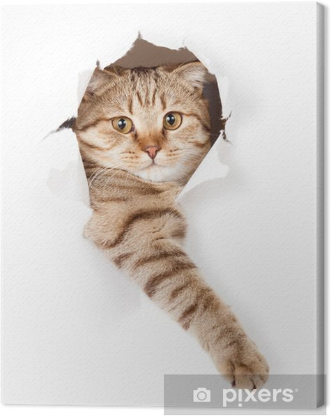 cat in white wallpaper hole Canvas Print -