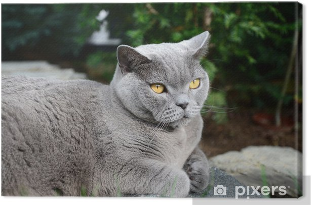 Cats life - british shorthair Canvas Print - Mammals
