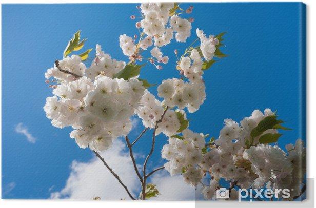 cherry blossom blue skies Canvas Print - Flowers