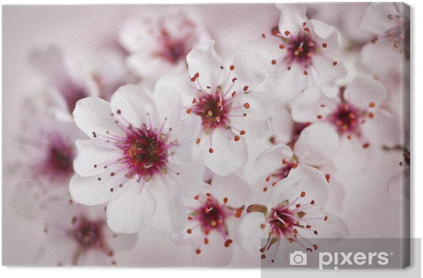 Cherry blossoms Canvas Print - Themes