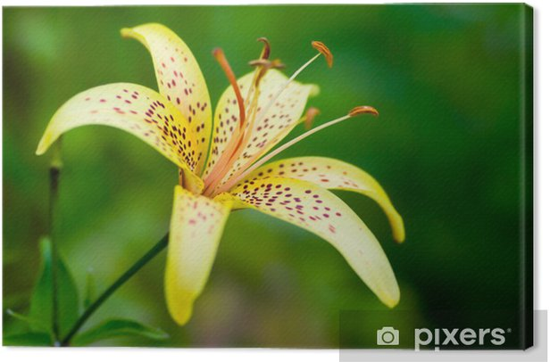 close-up of an amaryllis (Lily) Canvas Print - Flowers