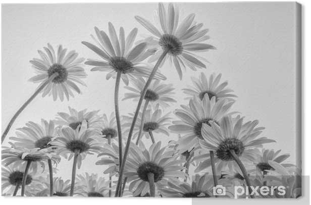 Close up of white flowers daisies Canvas Print - Plants and Flowers