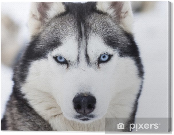 Close up on blue eyes of husky Canvas Print - Husky
