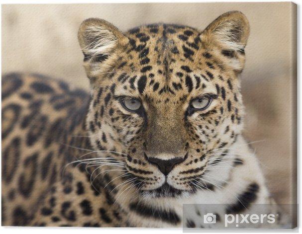 close up portrait of an Amur leopard making eye contact Canvas Print - Mammals