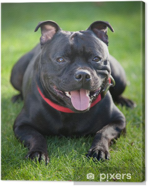 Close Up Portrait Of Black Staffordshire Bull Terrier Canvas Print