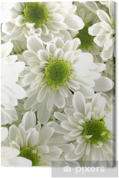 Close Up White Chrysanthemum Flowers With Green Center Canvas Print