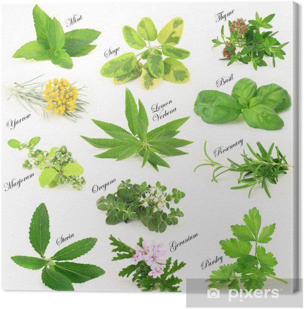 Collection of fresh aromatic herbs Canvas Print - Herbs