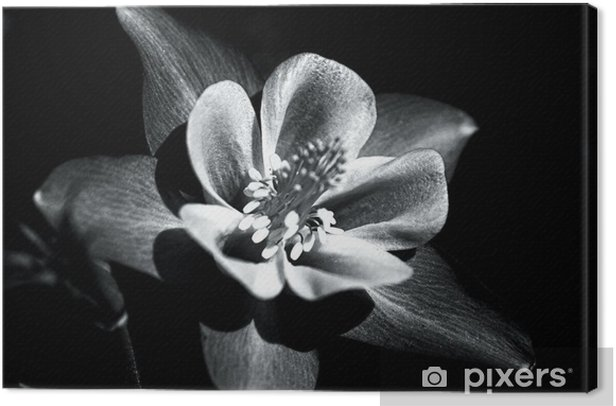 Colorado Columbine Flower In Black And White Canvas Print - Flowers