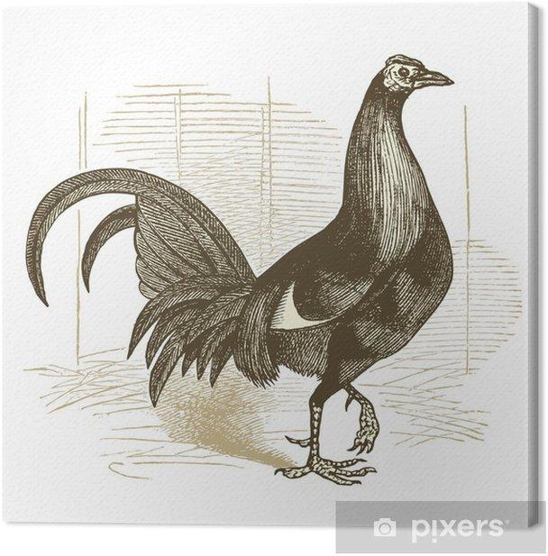 Coq de combat Canvas Print - Birds