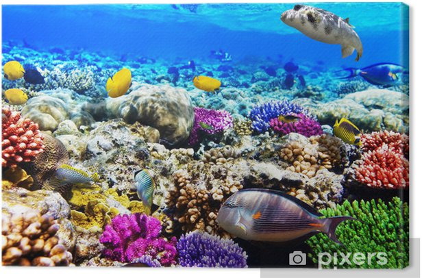Coral and fish in the Red Sea. Egypt, Africa. Canvas Print - Fishes