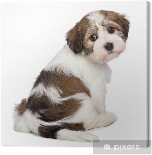Cute Havanese Puppy Is Sitting And