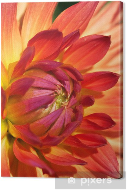 Dahlia flower Canvas Print - Seasons