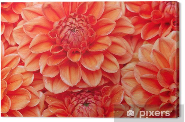 dahlia Canvas Print - Flowers