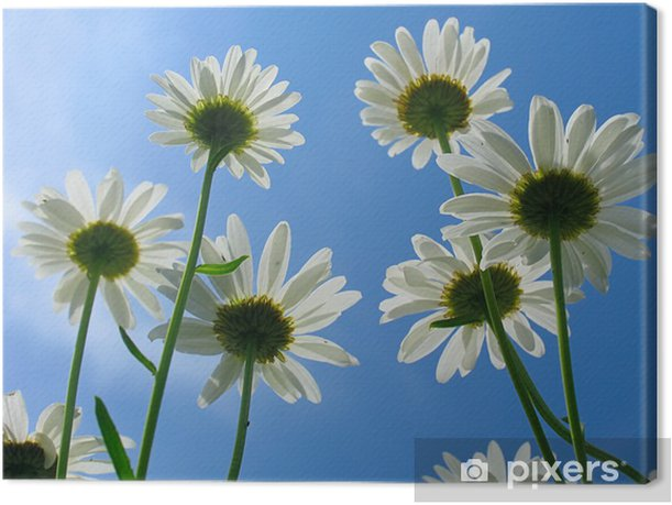 daisy Canvas Print - Flowers