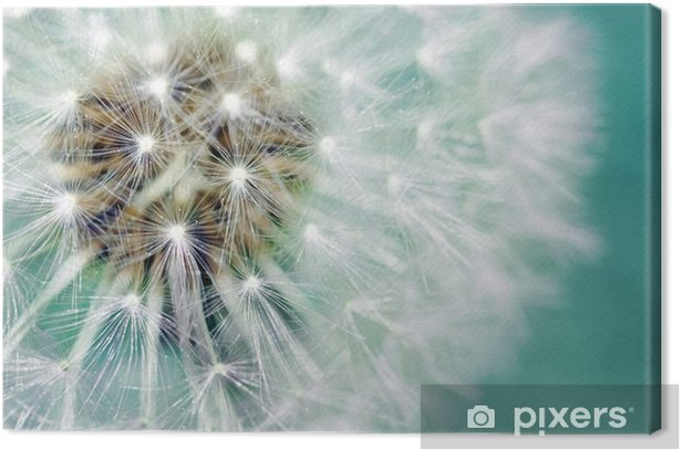 Dandelion fluffy seeds Canvas Print - Themes