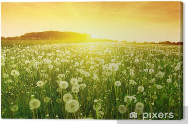Dandelions in meadow during sunset. Canvas Print - Themes