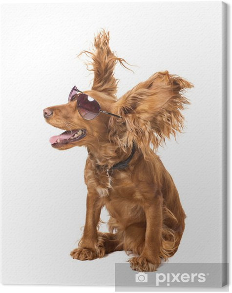 dog cocker in sunglasses Canvas Print - Mammals