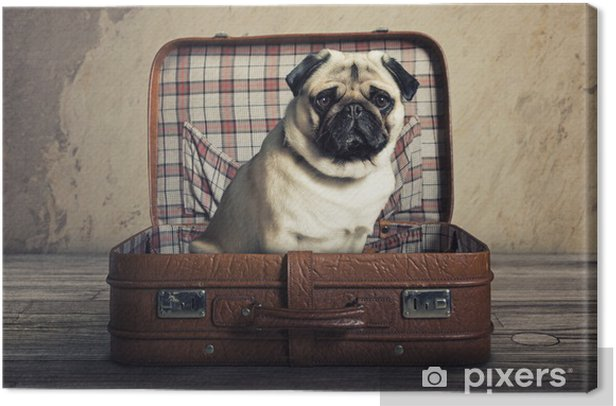 Dog in a Case Canvas Print - Pugs