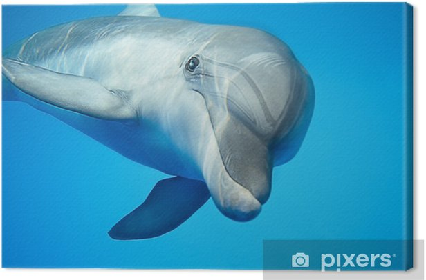 Dolphin under water Canvas Print - Fishes